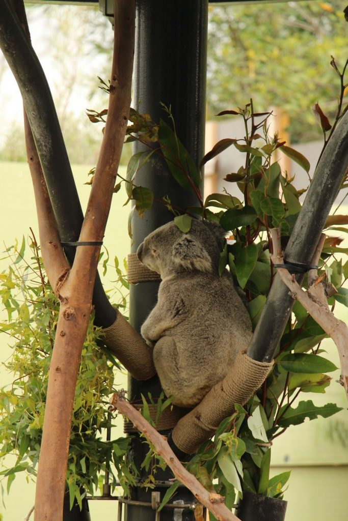 A koala bear at the zoo