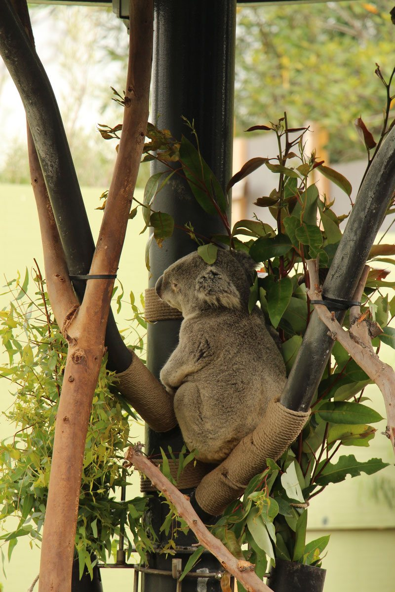 Baby-Can-Travel---San-Diego-Zoo-and-Safari-Park - Koala