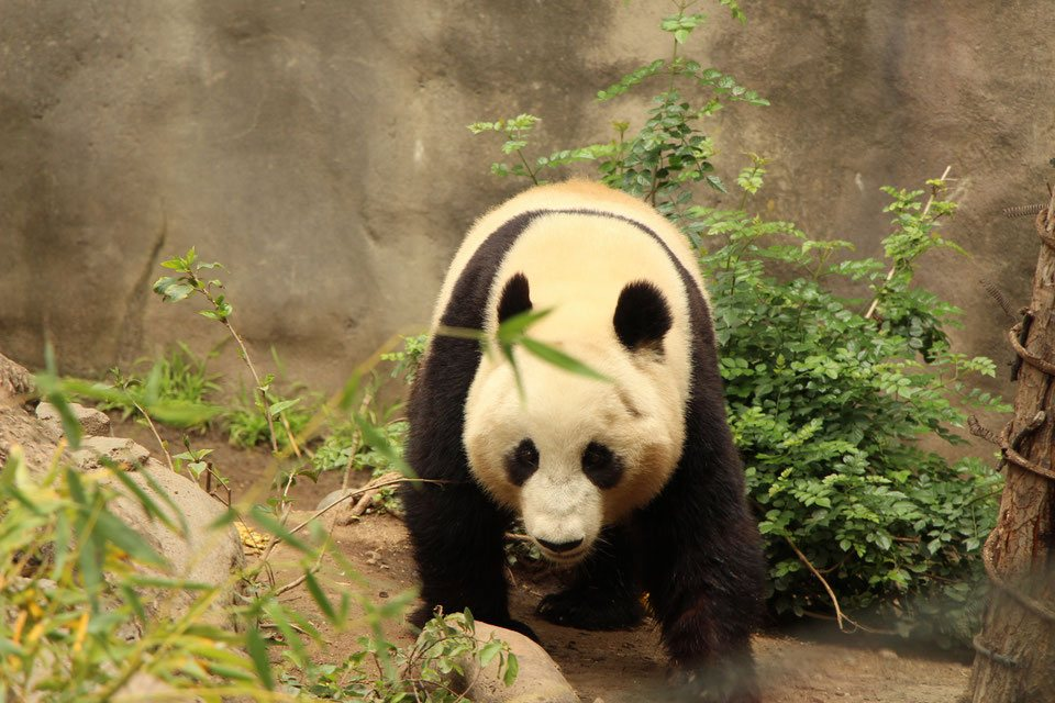 Baby-Can-Travel---San-Diego-Zoo-and-Safari-Park - Panda