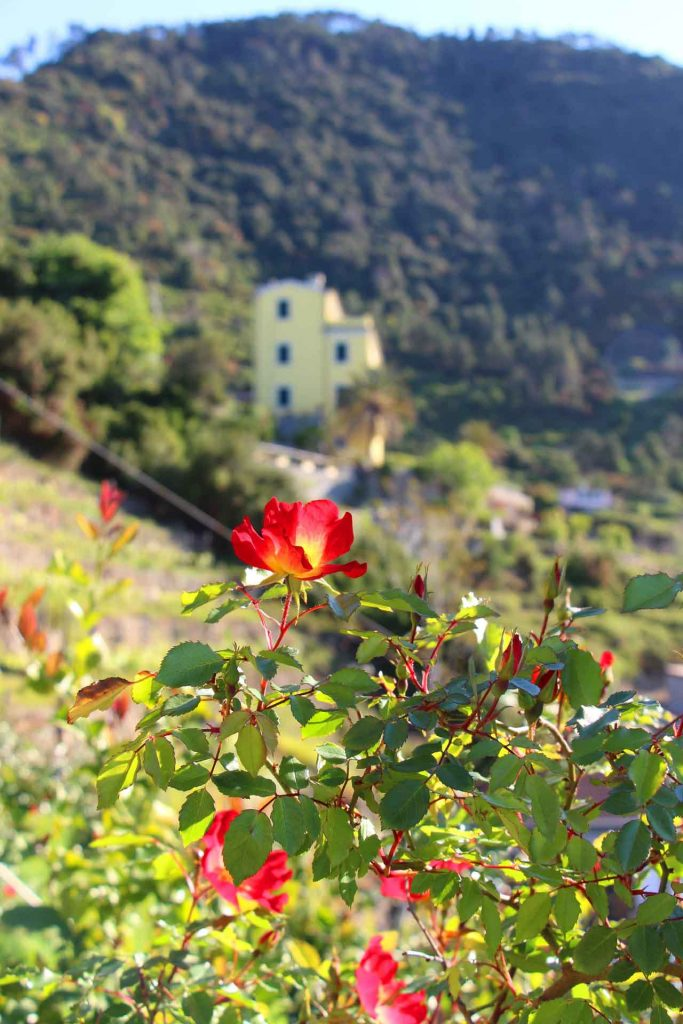 A beautiful flower seen while visiting Corniglia with a toddlerr or baby